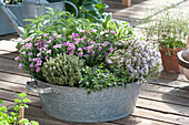 Dianthus 'Pink Kisses' ( Nelken ), Thymus vulgaris ( Thymian ), Salvia
