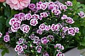 Dianthus 'Pink Kisses' ( Nelken )