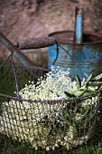 Fresh elderberry blossoms in a wire basket on grass