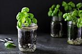Basil plants growing in jars