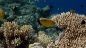 Exquisite butterflyfish