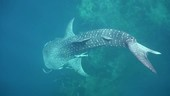 Injured whale shark