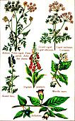 Poisonous plants, 19th Century illustration