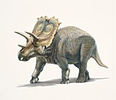 Anchiceratops dinosaur, illustration
