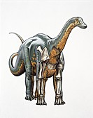 Sauropod bone structure, illustration