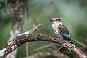 Juvenile brown hooded kingfisher