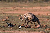 Spotted hyena chasing pied crows