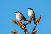 Fiscal flycatcher pair