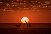 Giraffe and Burchell's Zebra at sunset