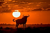 Blue Wildebeest at Dusk