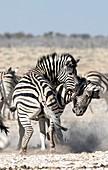 Burchell's zebras fighting