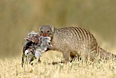 Banded mongoose with turtle dove carcass