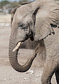 African Elephant at a mineral lick