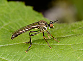Stripe-legged robberfly