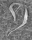 Trypanosome trypomastigotes protozoa, SEM