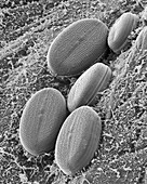 Fresh water pennate diatom, SEM