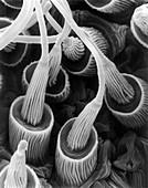 Spider silk gland spigots (Gasteracantha sp.), SEM
