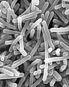 Listeria monocytogenes, bacterium, SEM