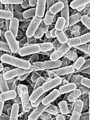 Sulfitobacter pontiacus, SEM