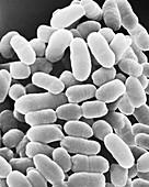 Chromatium sp. purple sulphur bacterium, SEM