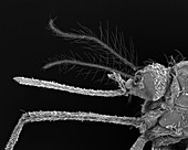 Female Asian tiger mosquito, SEM