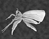 Whitefly juvenile, SEM