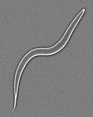 Soil nematode (Caenorhabditis elegans), SEM