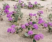 Flowery sand-dunes, Sonoran Desert, USA