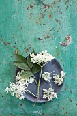 Elderflowers arranged on a plate on a turquoise surface