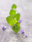 Ground ivy with a leaf and flowers