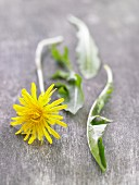 Dandelion flower and leaves