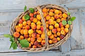 Freshly picked apricots in a basket