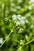 Great spotted hemlock (Conium maculatum)