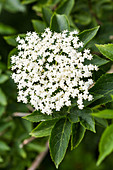 Elderflower (Sambucus nigra)