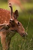 Fallow deer buck grazing