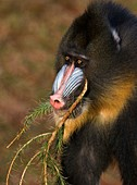 Mandrill eating a pine branch