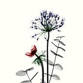 Anemone and Allium flowers, X-ray
