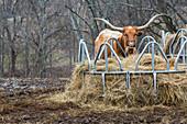 Texas Longhorn cow at a hay feeder