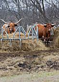 Texas Longhorn cattle at a hay feeder