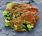 Euglena chloroplasts, SEM