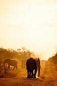 African bush elephants