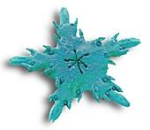 Juvenile starfish, SEM