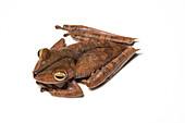 Troschel's tree frog