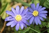 Anemone blanda flowers