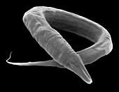 C. elegans worm, SEM