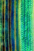 Fern stalk, light micrograph