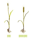 Genetically modified wheat, illustration