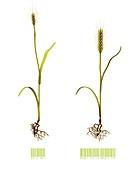 Genetically modified wheat, illustration