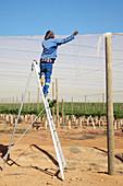 Protecting grape vines