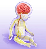 Baby's brain and nervous system, illustration